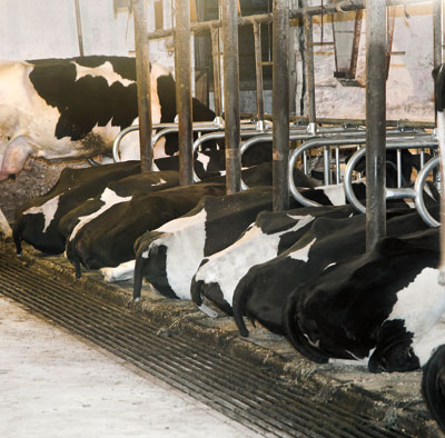 Mayo Mat Lancaster Pa Dairy Cows Ck Manufacturing